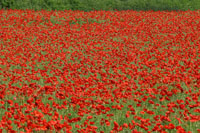 Poppy fields are a common sight in Suffolk